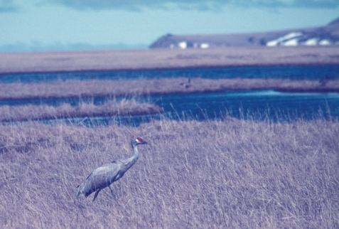 Sandhill cranes are one of the more conspicuous lowland tundra birds.
