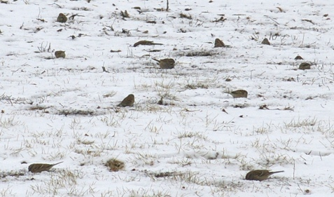 Here is one tiny portion of the flock that contained more than 100 tree sparrows. One of the song sparrows is in the center.