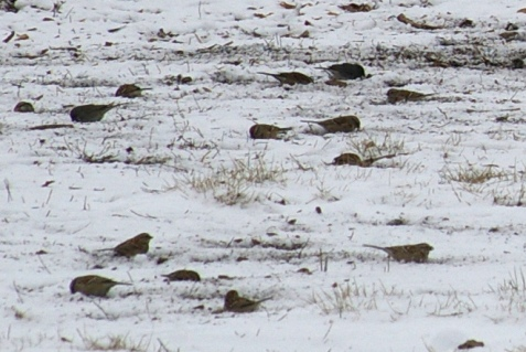 In another part of the flock the tree sparrows are joined by a few juncos.