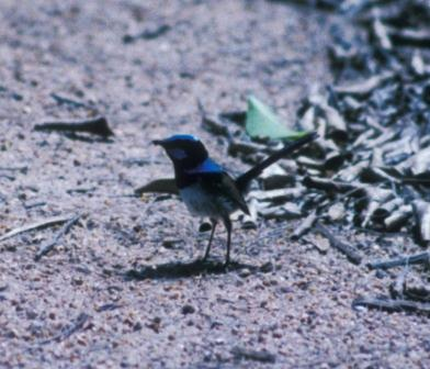 The superb fairy-wrens of Australia have revealed yet another amazing wrinkle in their biology.