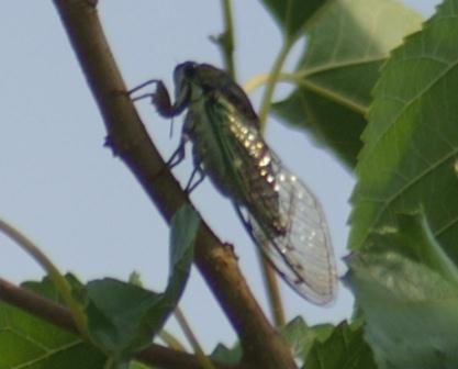 Swamp cicada 4AU 4b