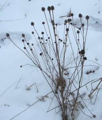 The plant loses its leaves in winter, but the heads persist to draw the eye.