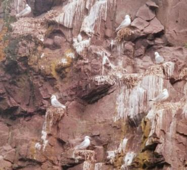 Black-legged kittiwakes nest on the narrowest of the cliff ledges.