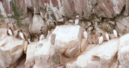 Common murres also nest on the cliffs, which provide security from predators such as foxes.