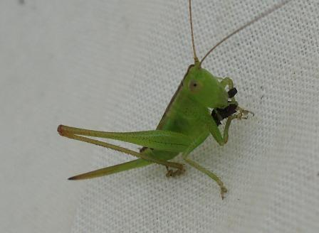 One of the female short-winged meadow katydid nymphs in the sweep net caught and ate a small beetle.