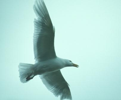 Glaucous gulls, like the other gull species, have a very broad diet.