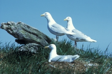 Glaucous gulls in a nesting colony