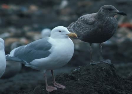The nearest candidates for hybridization were glaucous-winged gulls, which are common in the Aleutians.