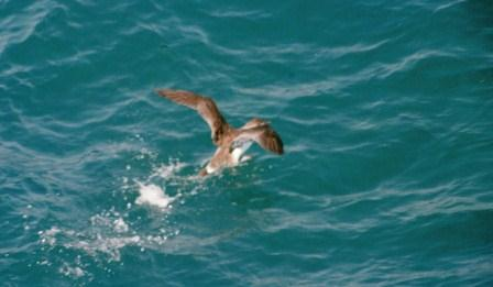 A greater shearwater, hastily taking wing as the ferry passes too close for comfort.