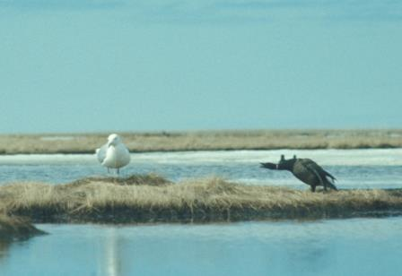 A gull stands at its nest while a brant makes clear that they aren't buddies even if they share a nest pond.