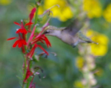 Hummingbird at cardinal flower, Mayslake