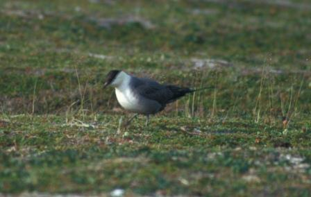 The smaller long-tailed jaegers focused more on small rodents, but also fed on the smaller birds.