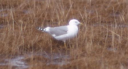 The mew gull, a species much smaller than the glaucous gull, seldom showed interest in avian prey, focusing on invertebrates and small fish.
