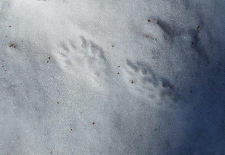 A mink has been passing through the preserve on a weekly basis.