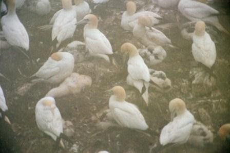 Northern gannets tend their large, downy youngsters in the fog at the St. Mary's Ecological Reserve.