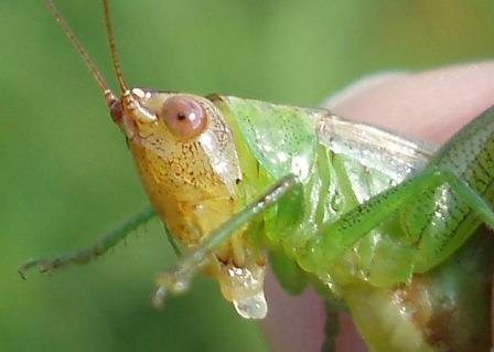 This is the female dusky-faced meadow katydid I caught and photographed last summer at Indiana Dunes National Lakeshore.