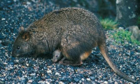 We have nothing that looks like a pademelon.