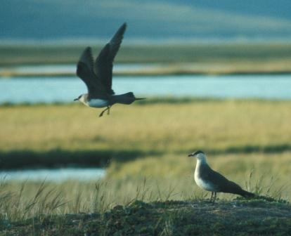 Parasitic jaegers had a strong interest in shorebirds and waterfowl as prey.