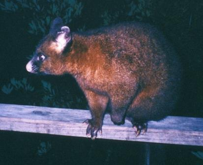 Though both are marsupials, their possums are different from our opossums.