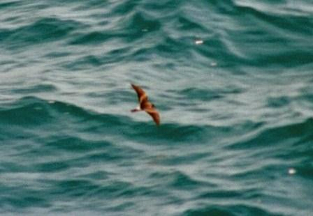 Wilson's storm-petrel, which glides just above the water seeking little tidbits.