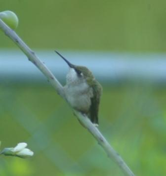 Young or female ruby-throated hummingbird