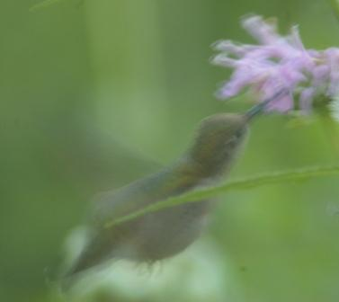 Hummingbird at wild bergamot, my back yard.