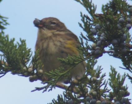 Yellow-rumped warbler eating a red cedar berry