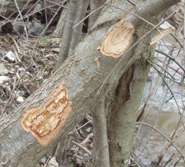 A beaver had been there indeed. The freshly gnawed cuts showed the wide grooves made by beaver incisor teeth.
