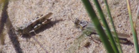 A pair of clear-winged grasshoppers, Camnula pellucida