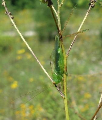 Male common meadow katydid