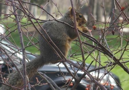 This fox squirrel was making do with some dried rose hips from the bush outside my office window.
