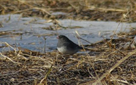 Juncos most commonly are seen on the ground.