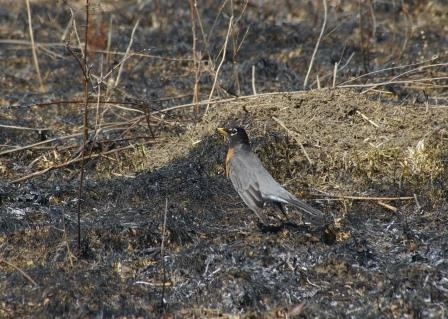 A robin hunts on the newly opened ground.