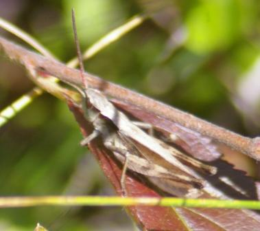Thomas's broad-winged grasshopper at Whitefish Point on the Upper Peninsula of Michigan.