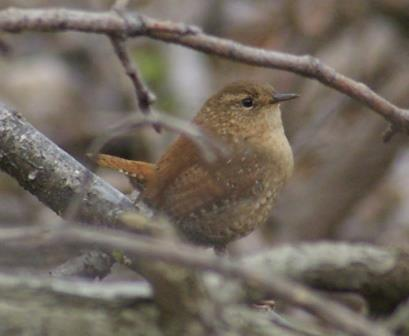 This winter wren was a classic example. Its kind invented skulking, but this one came out for a few seconds into plain sight.