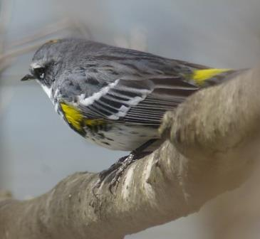 This male yellow-rumped warbler, in contrast, was not hiding. The challenge with him was that he seldom held still for more than a second. There was always another insect to chase.