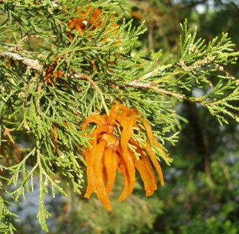 These are the spore-producing structures of the cedar-apple rust, which cycles between the cedars and apples or crab trees, and can impair both host species.
