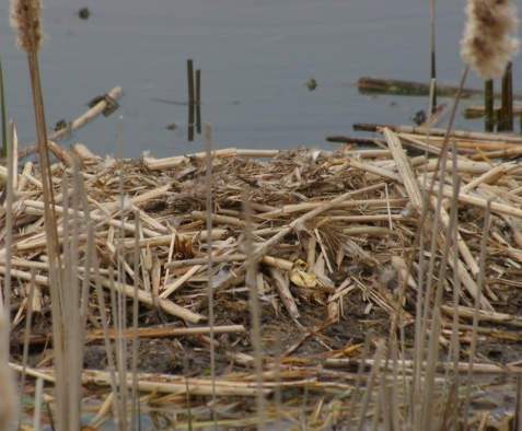The nest did not appear disturbed, and the membrane of an apparently hatched egg is visible on the side of the muskrat house.