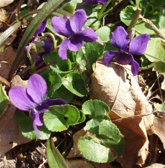 Common blue violets flowered 4 days later this year than in 2011.