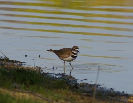 The first killdeer appeared 3 days earlier in 2013 than in 2010.