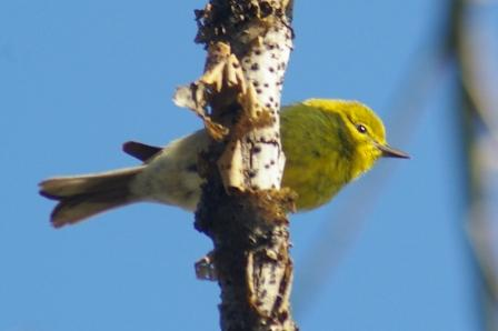 The first pine warbler appeared 7 days later in 2013 than in 2012.