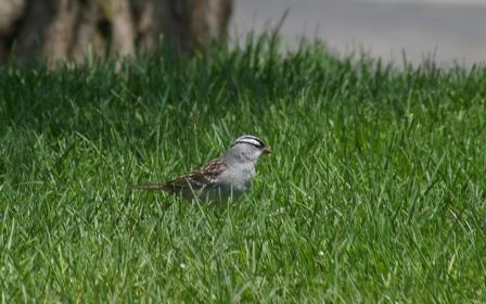 White-crowned sparrow, Mayslake Forest Preserve