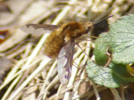 The bee fly Bombylius major first appeared 10 days later in 2013 than in 2010.