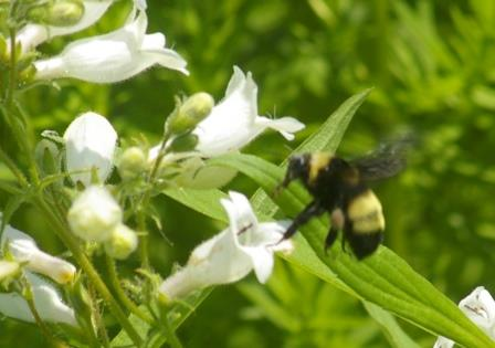 This bee was diving into the foxglove beard tongue flowers so quickly upon landing that flight photos were needed to show sufficient detail for identification. The black basal abdominal segment followed by two yellow ones is one clue. The trace of yellow on the back half of the dorsal thorax is another.
