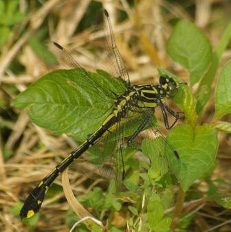 After much pondering, I concluded this was a female cobra clubtail. Indiana has a similar species, the handsome clubtail, but certain details ruled it out.
