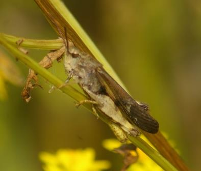 Green-striped grasshoppers were common, as were spring field crickets.