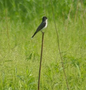 The preserve's pair of eastern kingbirds is much quieter than they were before nesting.