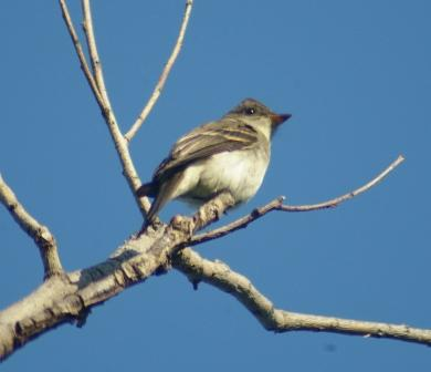 The eastern wood-pewee matched the median difference in arrival dates for both 2010 and 2009.
