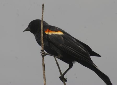 Red-winged blackbirds are ever-ready to cuss out any person who comes anywhere near their nests.