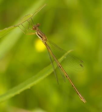 Slender spreadwings continue to be common this week.